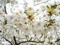 White_cherry