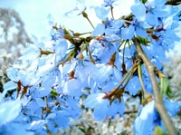 Blue_colored_cherry_2